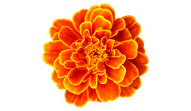 French marigold Royalty Free Stock Image