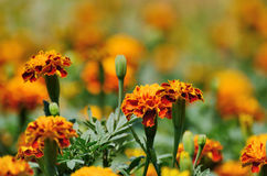 French Marigold Royalty Free Stock Photography