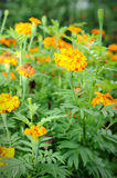 French marigold. Close up of French marigold (Tagetes patula L.), selective focus Stock Image