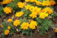 French marigold. Close up of French marigold (Tagetes patula L.), selective focus Stock Images