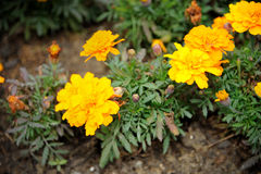 French marigold. Close up of French marigold (Tagetes patula L.), selective focus Royalty Free Stock Images