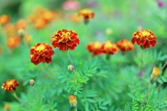 The French Marigold Royalty Free Stock Image