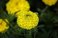 French marigold stock image