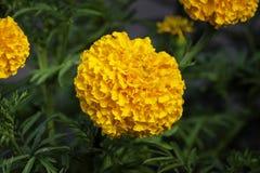 French marigold Stock Photo