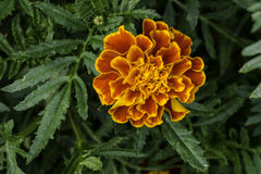 French marigold. Beautiful orange French marigold Tagetes patula blooming in garden. View from top royalty free stock images