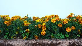 French marigold calendula flowers. French marigold flowers blooming in garden, right pan stock video footage