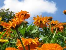 French marigold Calendula officinalis stock image