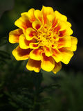 French marigold flower Royalty Free Stock Photos