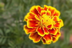 French Marigold flower close up Stock Image