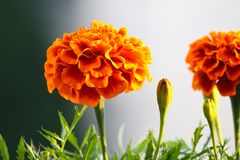 French Marigold flower in foreground. Beautiful orange French Marigold flower in foreground, very blurred background and some nice green leaves at the bottom royalty free stock photos