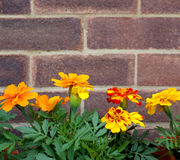 French marigold flowers against a brick wall. Row of bright orange and yellow French marigold flowers against a brick wall with copy space Stock Photography