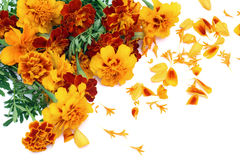 French Marigold isolated postcard Royalty Free Stock Image