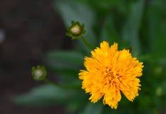French Marigold  (lat. Tagetes patula) Royalty Free Stock Images