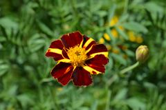 French marigold Mr. Majestic royalty free stock photography