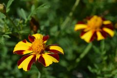 French marigold Mr. Majestic stock images