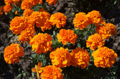 French marigold orange flowers on a sunny day Royalty Free Stock Images