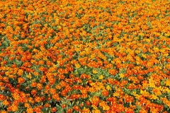 French marigold Stock Images