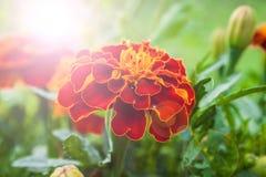 Tagetes patula. French Marigold`s golden flowerTagetes patula royalty free stock photo