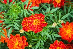 Tagetes patula. French Marigold`s golden flowerTagetes patula royalty free stock photos