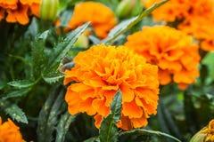 Tagetes patula. French Marigold`s golden flowerTagetes patula stock image