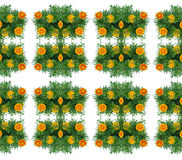 French marigold Royalty Free Stock Photo