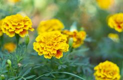 French Marigold or Tagetes Patula flower close up stock photo