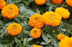Free French Marigold. Yellow Flowers Stock Photography - 39849702