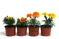 French marigolds Stock Image