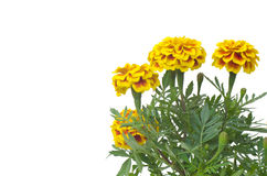 French Marigolds Stock Photo