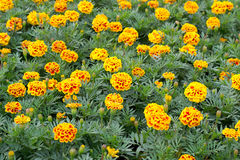 French Marigolds Stock Photography
