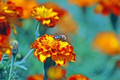 French marigolds. Beautiful french marigolds in the garden Stock Photography