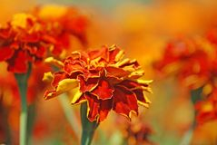 French marigolds. Beautiful french marigolds in the garden Stock Photos