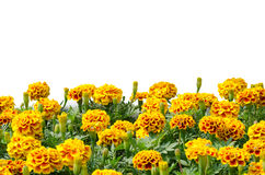 French Marigolds. Blooming isolated on white background Stock Photos