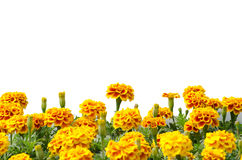 French Marigolds. Blooming isolated on white background Royalty Free Stock Photography