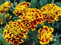 French Marigolds Royalty Free Stock Images