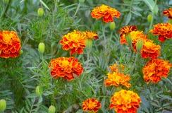 Free French Marigolds Tagetes Patula Royalty Free Stock Image - 159360266