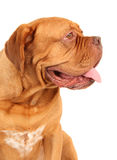 French Mastiff. Side portrait of a healthy 1.5 year old male French Mastiff (Dog de Bordeux Stock Photography