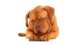 French Mastiff. Front on portrait of a healthy 1.5 year old male French Mastiff (Dog de Bordeux) chewing his toy burger Stock Image