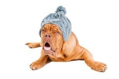 French Mastiff Royalty Free Stock Image
