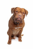 French mastiff Stock Photo