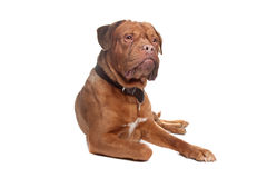 French mastiff Royalty Free Stock Images