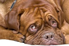 French mastiff. Very sad and so pretty Royalty Free Stock Photos