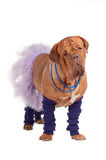 French mastiff ballerina Royalty Free Stock Images