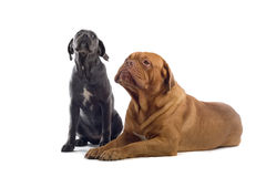 French mastiff and a cane corso pup Royalty Free Stock Images