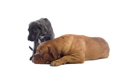 French mastiff and a cane corso pup Stock Image