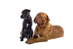 French mastiff and a cane corso pup Royalty Free Stock Photography