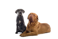 French mastiff and a cane corso pup Stock Images