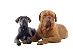 French mastiff and a cane corso pup. Isolated on a white background Stock Photo