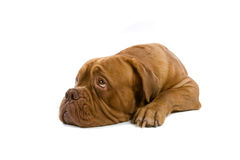 French mastiff dog Stock Photos