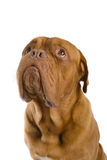 French mastiff dog Royalty Free Stock Photography